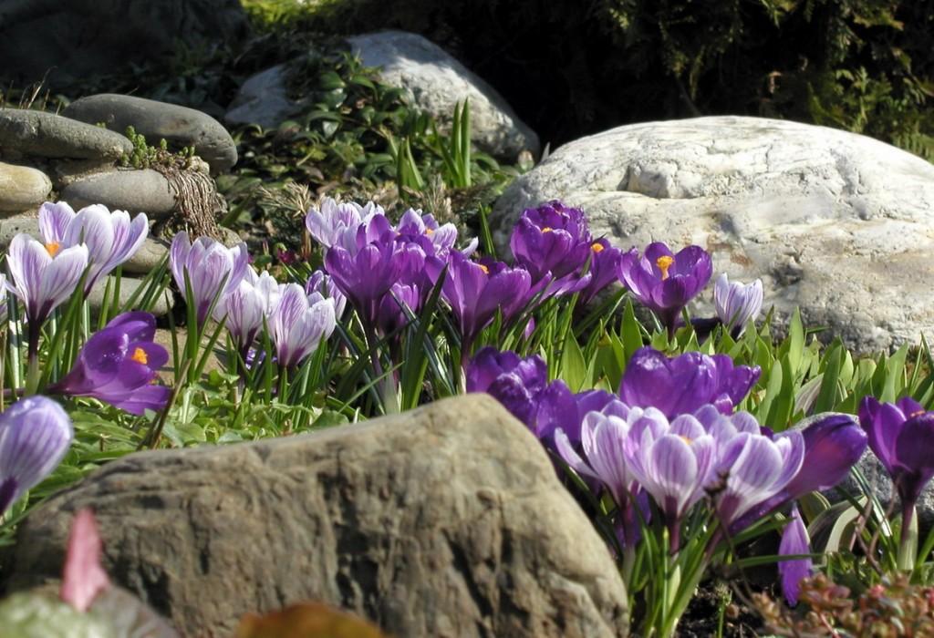 Цветение крокусов на альпийской горке