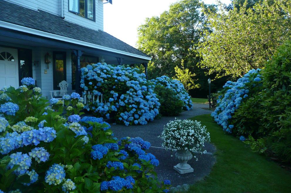 Моноклумба с цветущими гортензиями в летний период