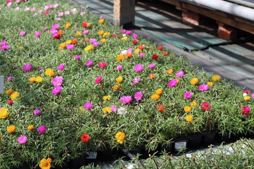 Садовая клумба с портулаком разнообразной расцветки