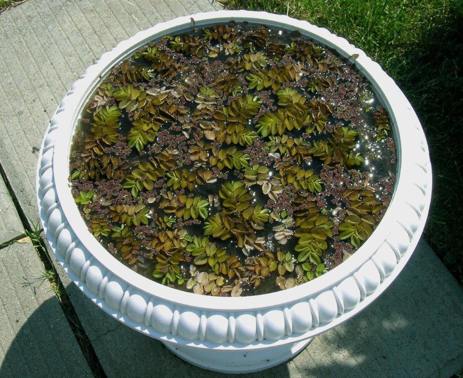 Мини-пруд с растениями в бетонной чаше