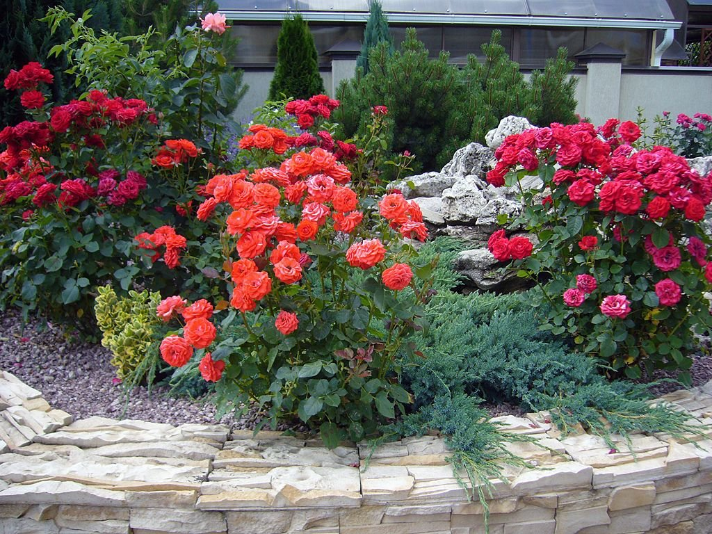 Кусты красных роз на приподнятой клумбе