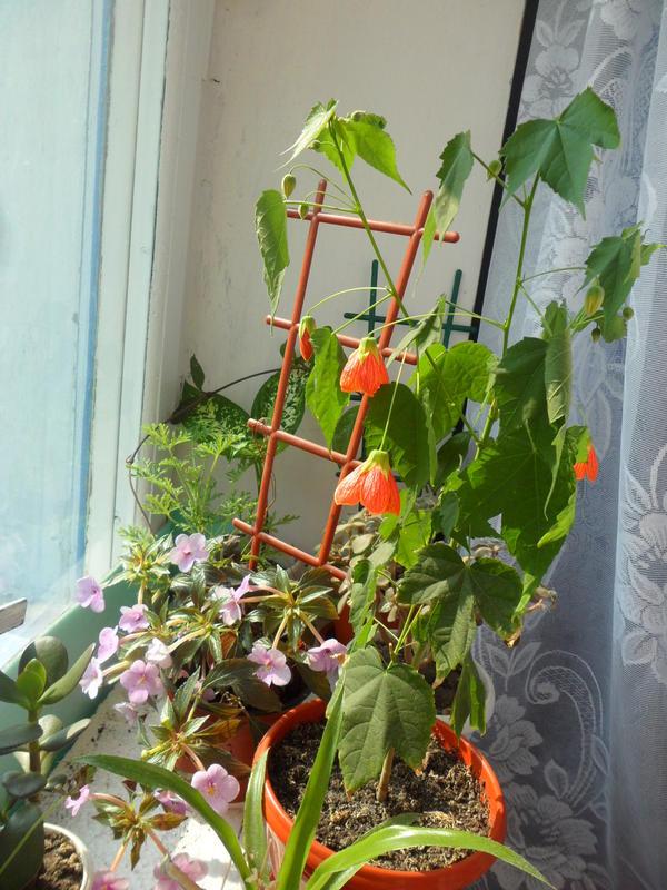 Красные цветки на стеблях комнатного абутилона