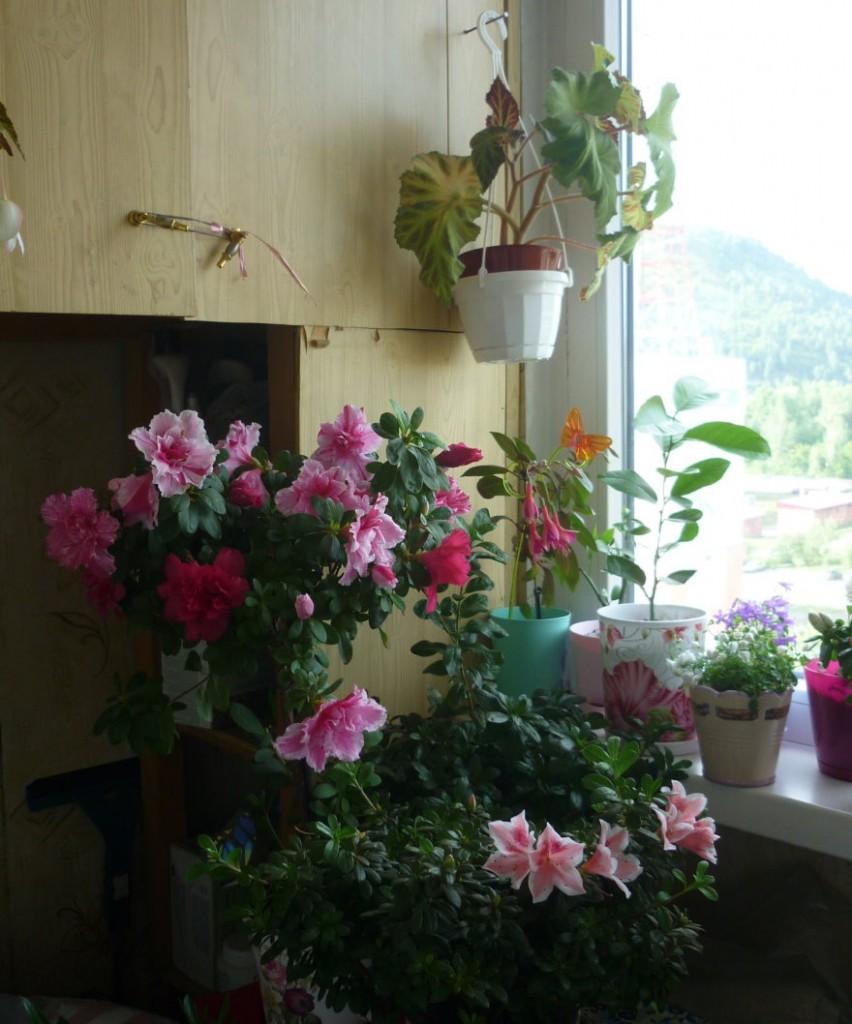 Цветение азалии в оранжерее на лоджии