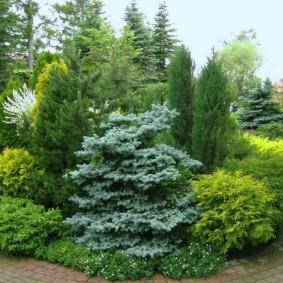Голубая ель на фоне зеленой сосны