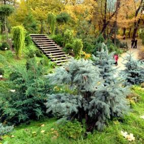 Гибридная елка с раскидистой кроной