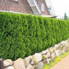 Живая стенка из хвойных растений
