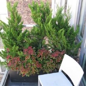 Можжевельник на балконе городской квартиры