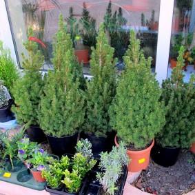 Декоративные елки для озеленения балкона