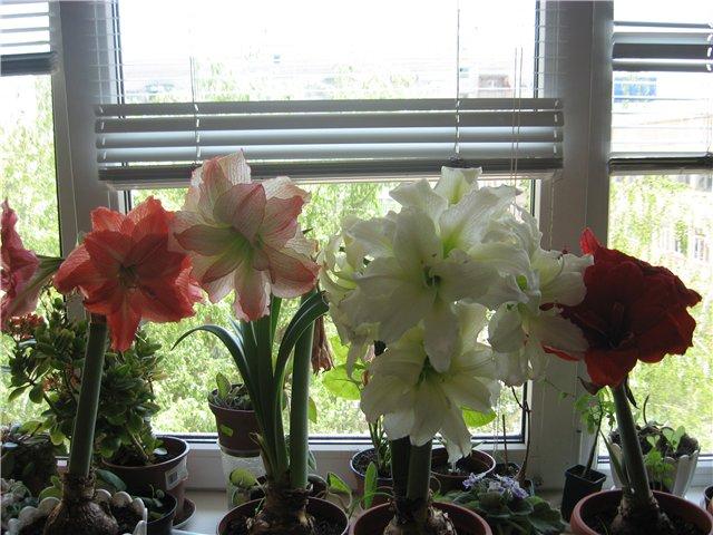 Огромные цветки гиппеаструма на балконе