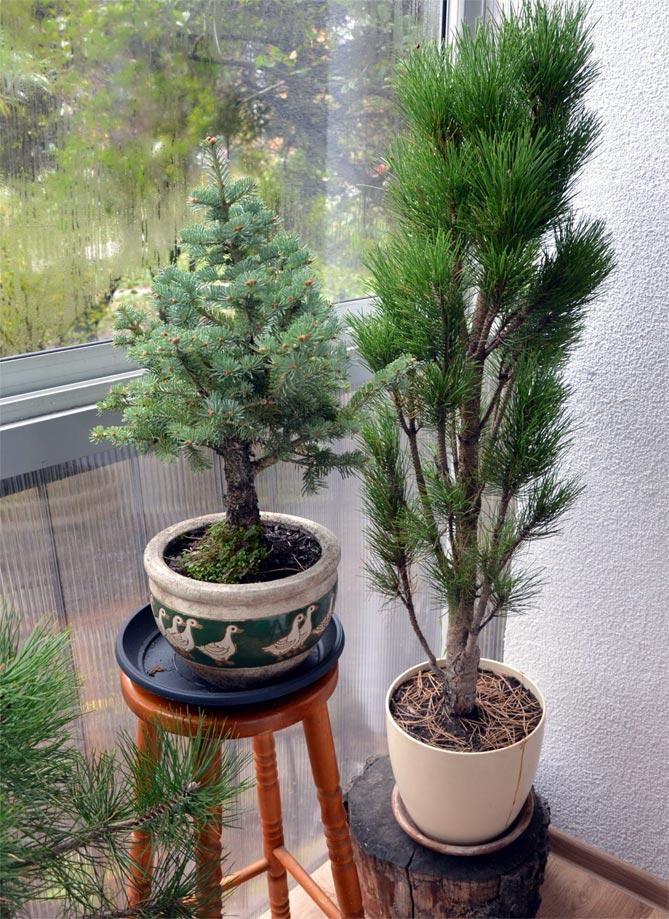 Хвойные растения на утепленном балконе