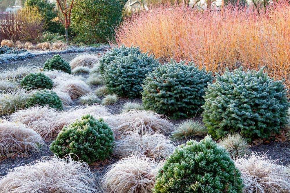 Низкорослые хвойные растения после первых заморозков