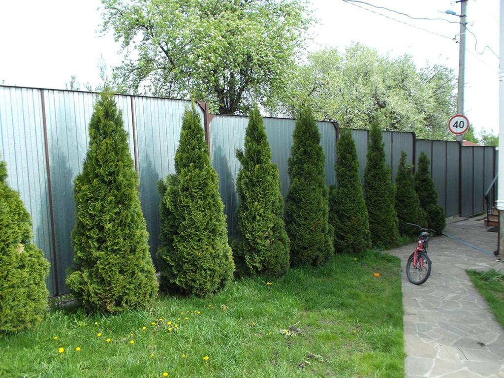 Зеленые кипарисы вдоль ограды из профлиста
