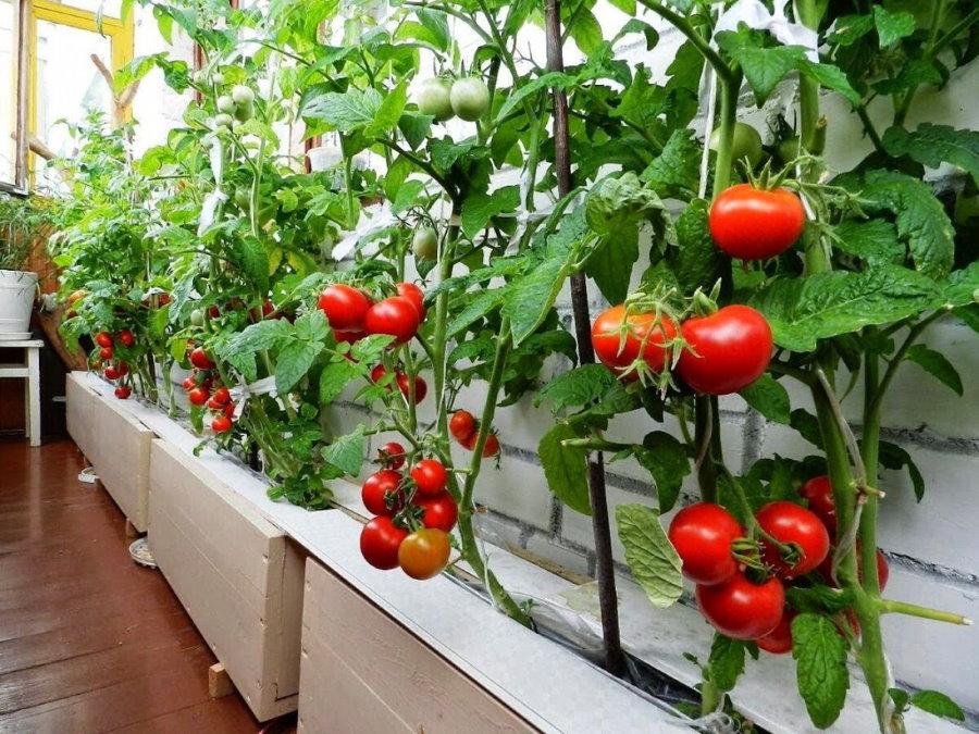 Красные помидоры на балконном огороде