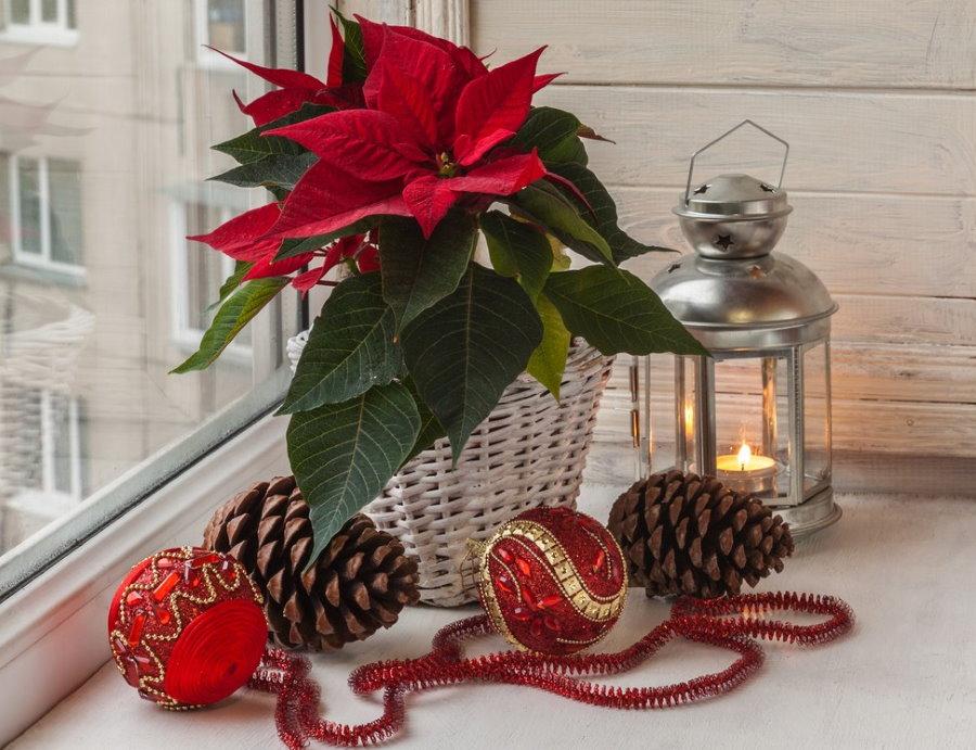 Цветение пуансетии на балконе в канун рождества