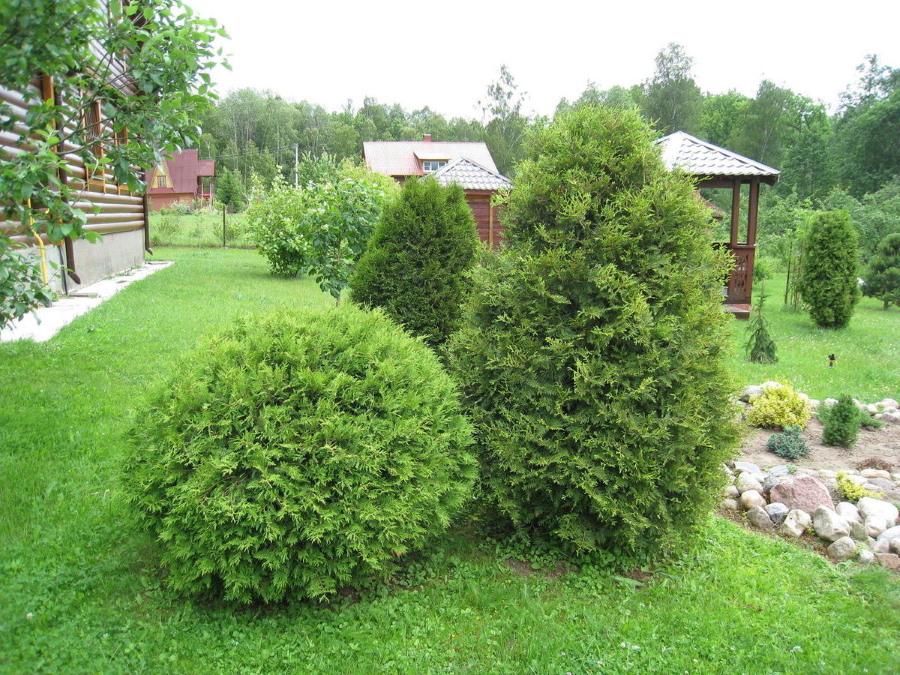Разные туи на загородном участке