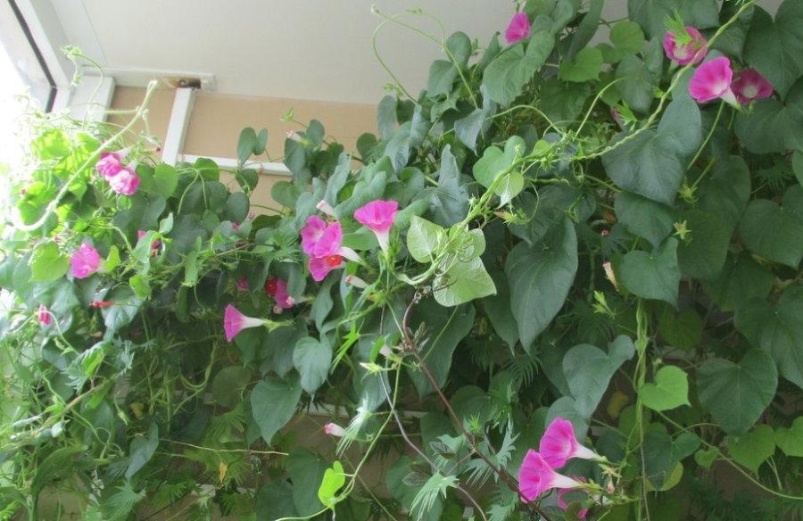Ампельная петуния на застекленном балконе