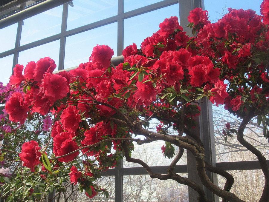 Ярко-красные цветки на ветках домашней азалии