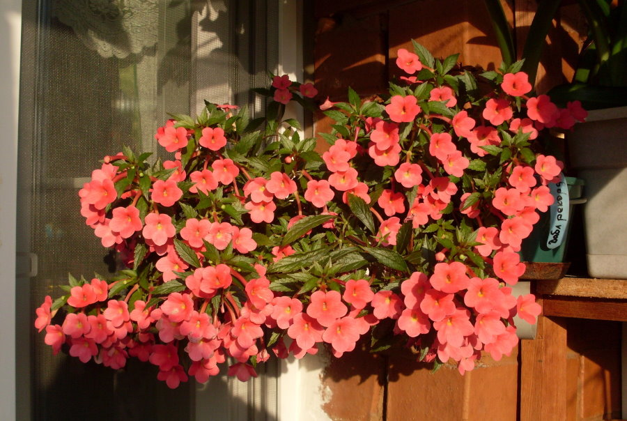Цветущий куст бальзамина на подоконнике лоджии