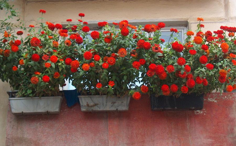 Красная циния на бетонном парапете балкона