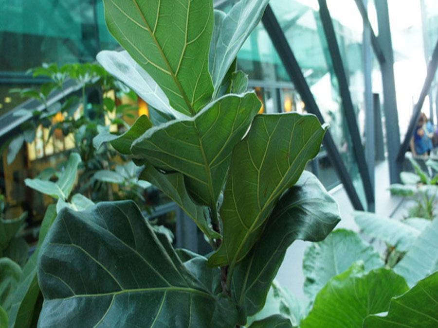 Мясистые листья на стеблях лировидного фикуса