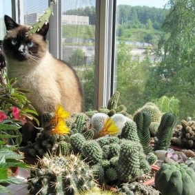 Домашняя кошка на балконе с кактусами