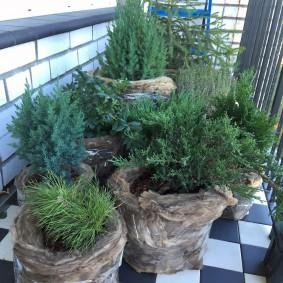 Карликовые хвойные растения на полу балкона