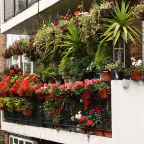 Многолетние цветы в горшках на балконе