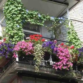 Озеленение балкона вьющейся ипомеей