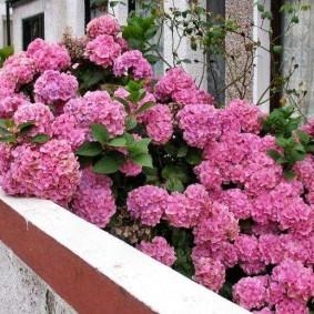 Садовая гортензия на открытом балконе