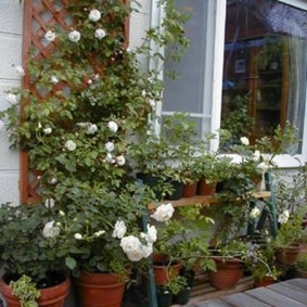 Плетистые розы с белыми бутонами