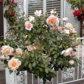 Кустик карликовой розы на кованных перилах