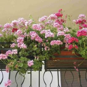 Многолетние цветы на парапете лоджии