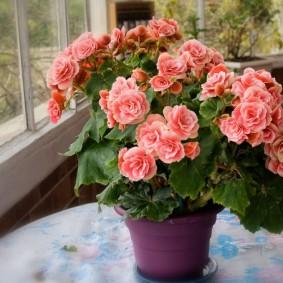 Красивый цветок с пышными бутонами