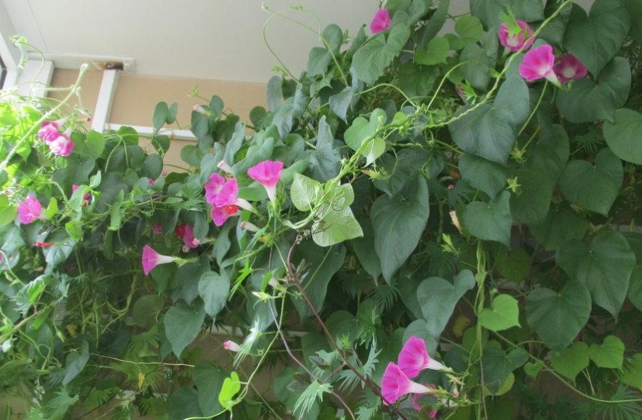 Цветение ипомеи в условиях открытой лоджии
