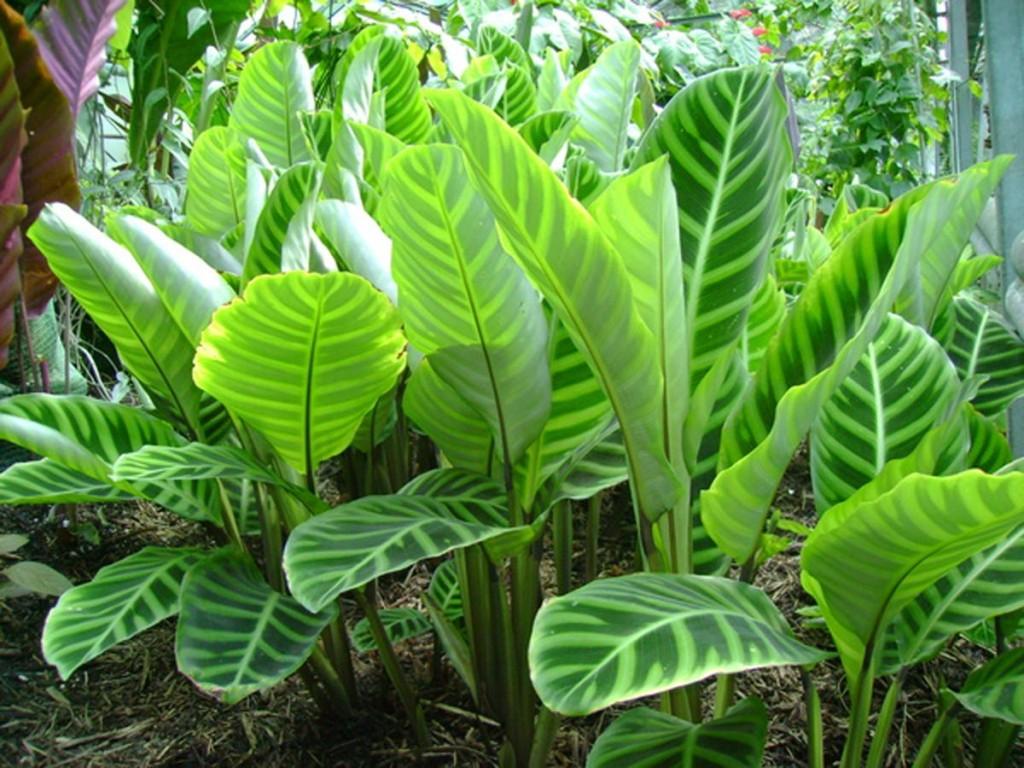 Полосатые листья калатеи в домашней оранжерее