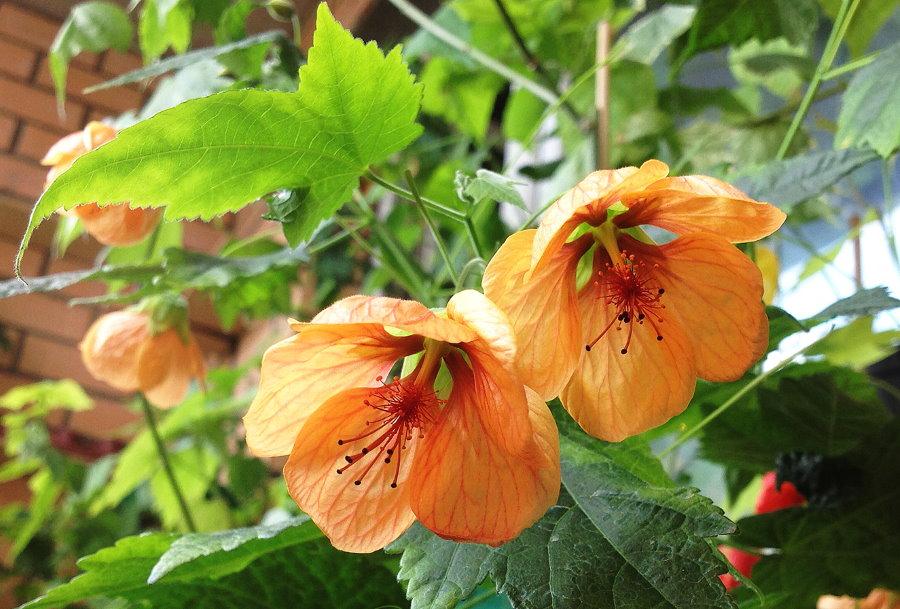 Огромные цветки абутилона в условиях зимнего сада