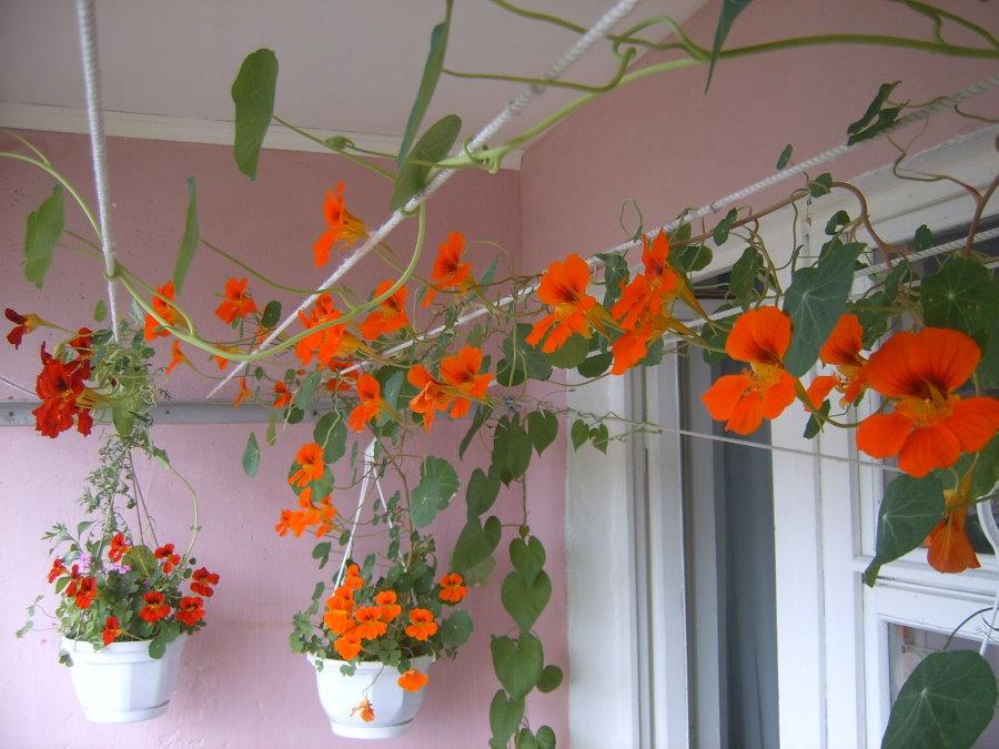 Красные цветки на плетистых ветках балконного растения