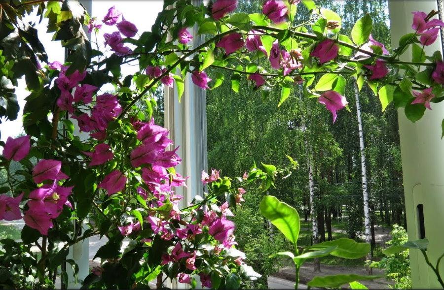 Вьющиеся растения на лоджии с остеклением