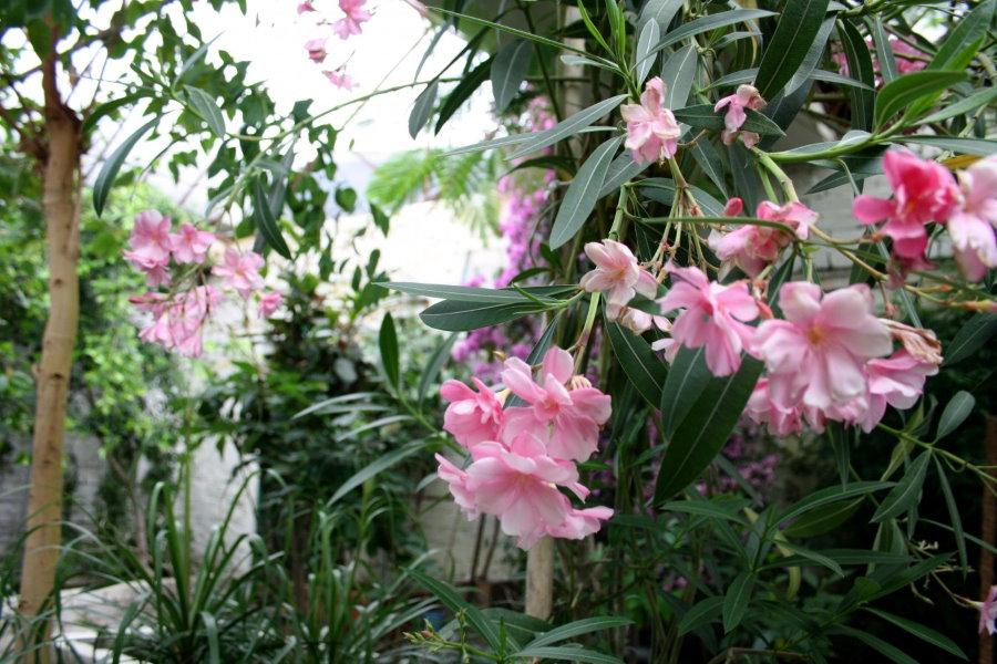 Розово-белые цветки на ветках домашнего олеандра