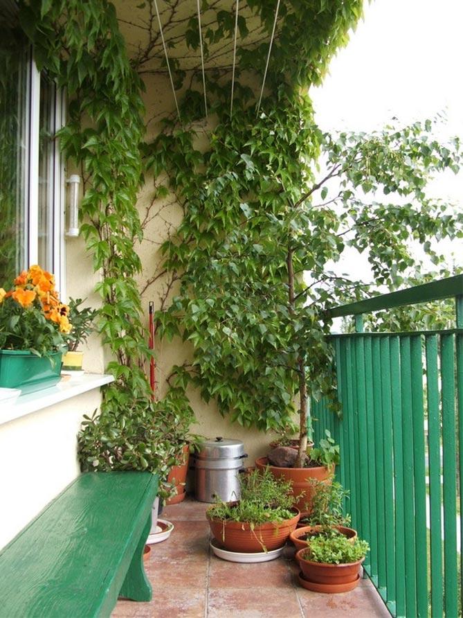 Выращивание плюща обыкновенного на открытом балконе