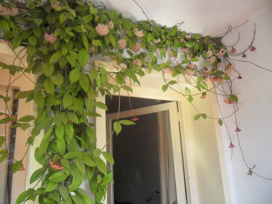 Озеленение стены балкона однолетними вьюнами