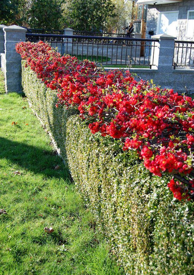Красные цветки в верхней части живой изгороди из айвы