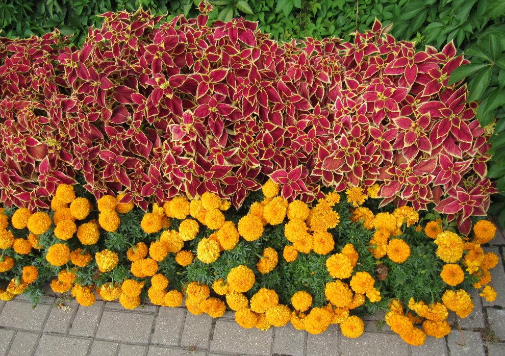 Бархатцы на садовой клумбе с другими цветами