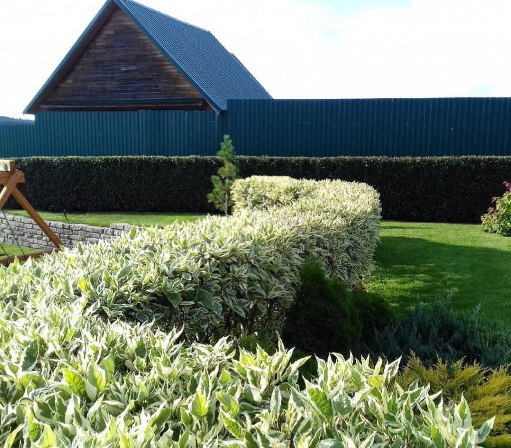 Зигзагообразная изгородь из белого дерена