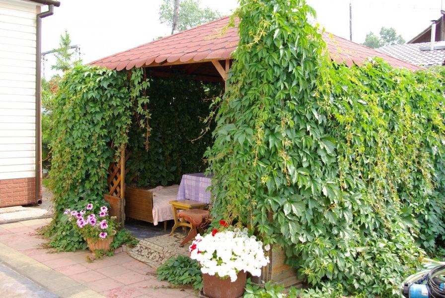 Озеленение открытой беседки девичьим виноградом