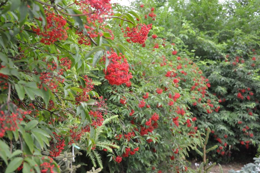 Живая изгородь из бузины в период плодоношения