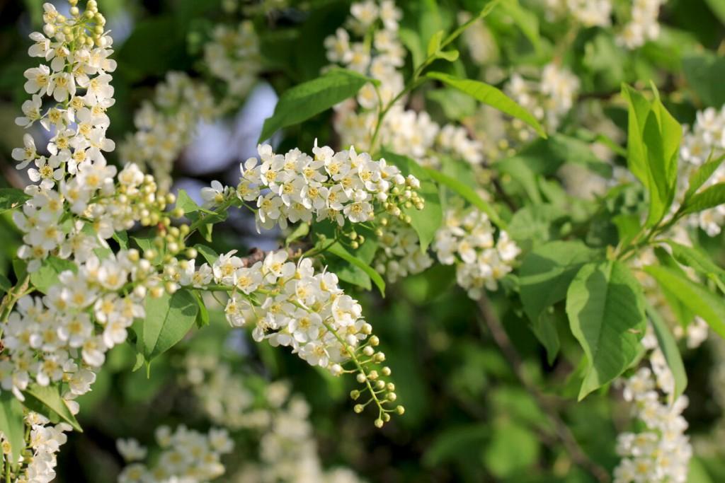 Цветение черемухи в середине весны на дачном участке