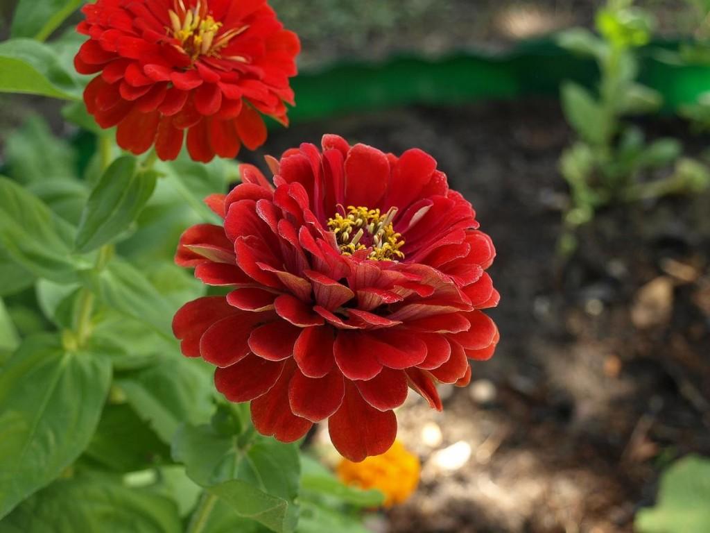 Темно-бардовые цветы садовой цинии