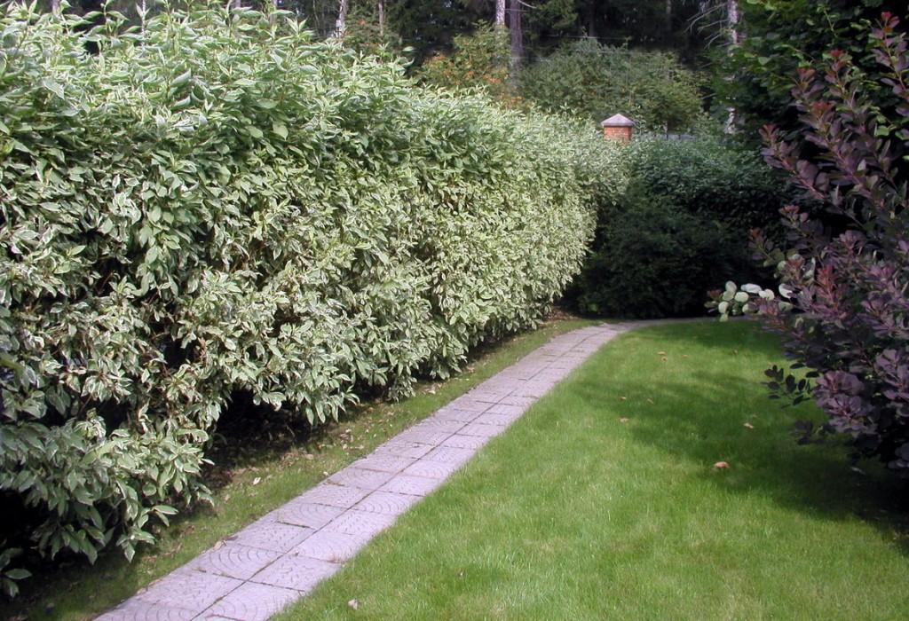 Дерен белый в живой изгороди на садовом участке