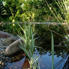 Рогоз обыкновенный в пруду на даче